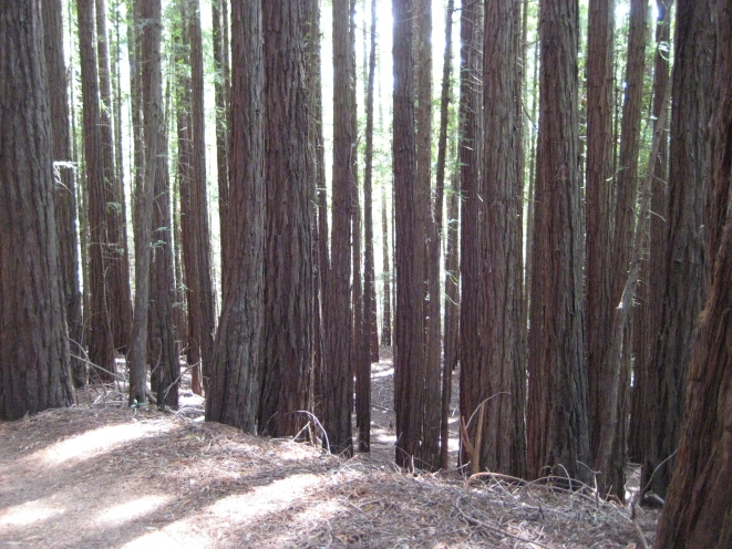 2013 -Redwoods in Mill Valley