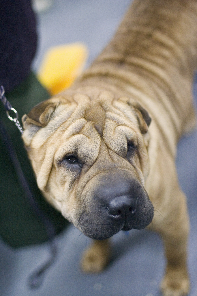 Dave Shar Pei