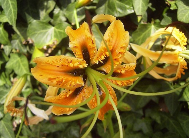 Lilium rosthornii, by Denis Barthel [Creative Commons license via Wikimedia Commons]