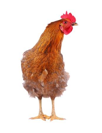 My inner chicken